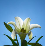 Easter Lily with sun illuminating white flower petals from behind and brilliant blue sky. Gorgeous single white Easter Lily and green leaves set against clear Stock Image