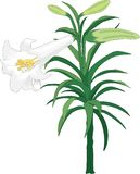 Easter Lily Vector Illustration. A vector illustration of an Easter lily plant vector illustration