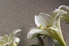 Easter Lily White Flower on a grey canvas  background. Lot Of Copy space Stock Photography