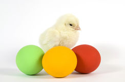 The Easter living chicken
