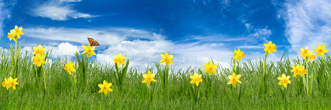 Easter meadow. With daffodils in front of blue sky Royalty Free Stock Photography