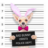 Easter mugshot dog Royalty Free Stock Image