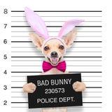 Easter mugshot dog Royalty Free Stock Image