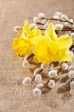 Easter narcissus Royalty Free Stock Photo
