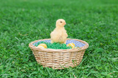 Easter nest with chick. Easter nest with easter eggs and young chicken babies Stock Image