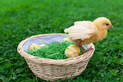 Easter nest with chick. Easter nest with easter eggs and young chicken babies Royalty Free Stock Image