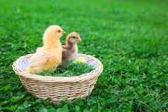 Easter nest with chick. Easter nest with easter eggs and young chicken babies Stock Images