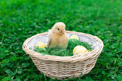 Easter nest with chick Royalty Free Stock Image