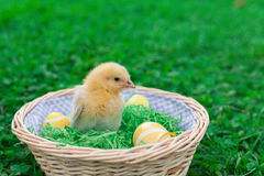 Easter nest with chick. Easter nest with easter eggs and young chicken babies Royalty Free Stock Photos