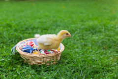 Easter nest with chick. Easter nest with easter eggs and young chicken babies Royalty Free Stock Images