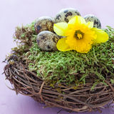 Easter nest with daffodil Royalty Free Stock Images
