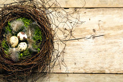 Easter nest of twigs and moss with three quail eggs and feathers Stock Image