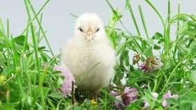 Easter, newborn little chicken stands in grass and screaming stock footage