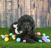 Easter Newfoundland Puppy. Very cute Newfoundland puppy laying in the grass with Easter eggs around her stock photography