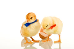 Easter party chickens - isolated Royalty Free Stock Photos