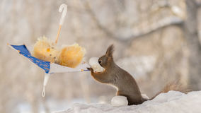 Easter party. Close up of red squirrel standing  with  a umbrella with mouth in egg with snow beneath Royalty Free Stock Images
