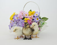 Easter Peeps and Baby Duckling Stock Photography