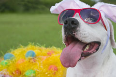 Easter Pooch. A dog wearing pink sunglasses with bunny ears and surrounded by easter eggs in plastic grass royalty free stock images