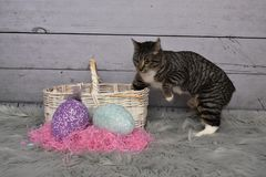 Tabby Manx Cat Easter Portrait royalty free stock photo