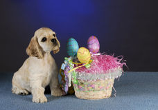 Easter puppy royalty free stock images