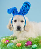 Easter Puppy Stock Photos