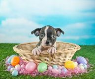 Easter Puppy Royalty Free Stock Image