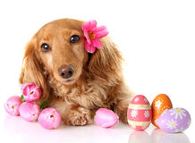 Easter puppy royalty free stock photography