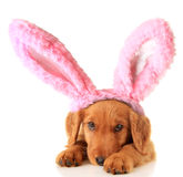 Easter puppy. An Irish Setter puppy wearing Easter bunny ears stock photo