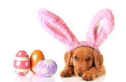 Easter puppy. An Irish Setter puppy wearing Easter bunny ears, surrounded by Easter eggs stock photo