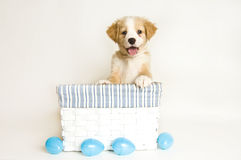 Easter Puppy in white and blue basket with eggs Royalty Free Stock Photo