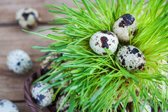 Easter quail eggs on fresh green grass on wooden background Stock Photo