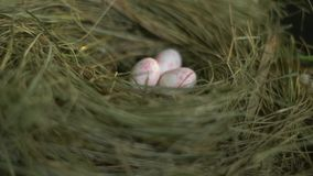 Quail eggs in the nest. Easter quail eggs in the nest