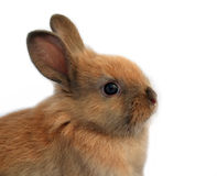 Easter rabbit. Isolated easter baby rabbit portrait Royalty Free Stock Image