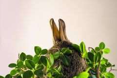 Easter rabbit from behind in vivid green leafs royalty free stock image