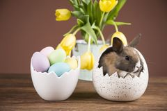 Easter rabbit in the shell of eggs. Colorful eggs. Yellow tulips. Easter rabbit in egg shells royalty free stock photo