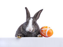 Easter rabbit holding a banner. Cute easter rabbit peeking behind a banner (isolated on white royalty free stock image