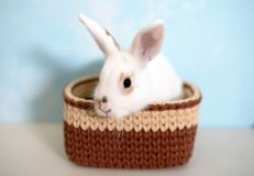 Easter rabbit in knitted basket Royalty Free Stock Image
