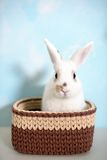 Easter rabbit in knitted basket Stock Image