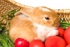 Easter rabbit and red eggs Royalty Free Stock Photo