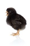 Easter scene : young chicken royalty free stock image