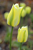 Easter Spring Flowers bunch. Beautiful yellow tulips, nature Stock Image