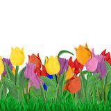 Easter Spring   greeting card template with tulips and grass border isolated. On white Royalty Free Stock Images