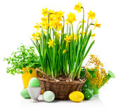 Easter still life with eggs and spring. Blossom yellow narcissus branch mimosa. On white background Stock Photography