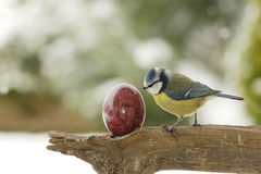Easter surprise. A blue tit and a easter egg Royalty Free Stock Image