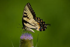 Eastern Swallowtail Butterfly. A beautiful Eastern Swallowtail Butterfly feeding in the summertime Stock Photos
