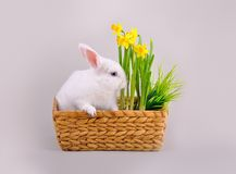 Fluffy white bunny and basket with daffodils