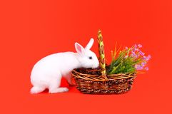 White bunny and basket of flowers on a red background Stock Photography