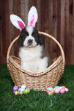 Easter Themed Saint Bernard Puppy Portrait Royalty Free Stock Image