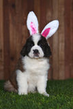 Easter Themed Saint Bernard Puppy Portrait Royalty Free Stock Images