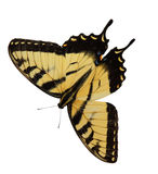 Easter Tiger Swallowtail Butterfly. Opening wings isolated on white background royalty free stock photography